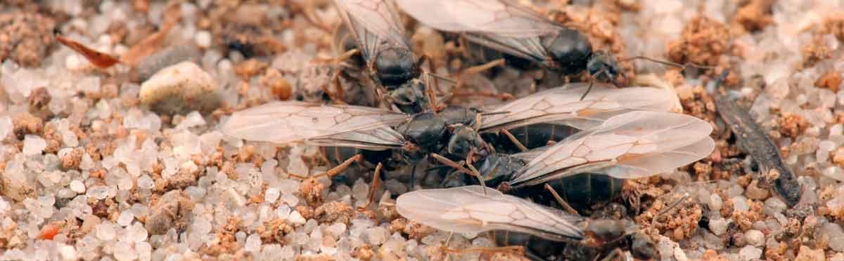Ameisen bekämpfen – Hausmittel gegen Ameisen