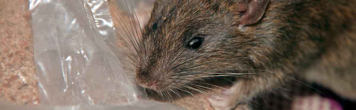 Rattenbekampfung